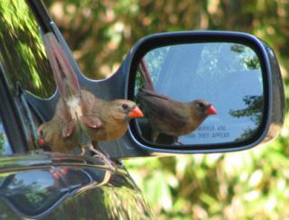 Bird-in-mirror